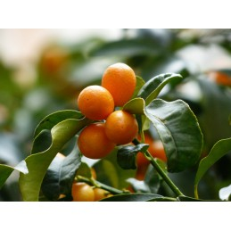 Kumquat, 1 kg (Granada)